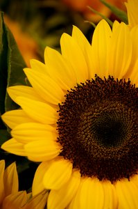 sunflower: no description