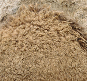 camel carpetting: the thick woolly coat of a camel