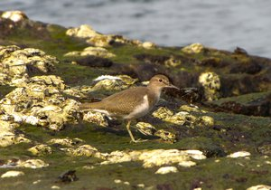 Common Sandpiper: no description