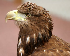 Sea Eagle: Close-up of Sea Eagle