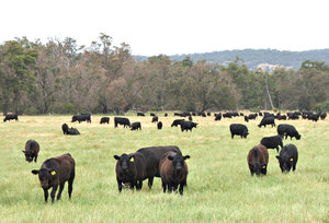 beef cattle: herd of Angus beef cattle