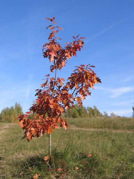Autumn landscape 2: a young tree in an autumn landscape