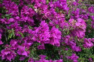 Bougainvillea: Purple bracts (