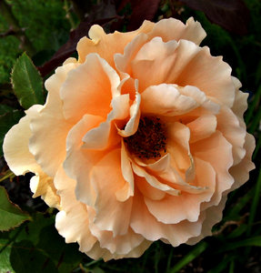 orange rose: delicate orange flower of a garden rose