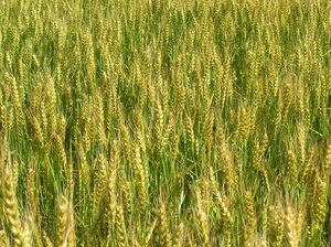 Wheat field texture: Close up of wheat growing.