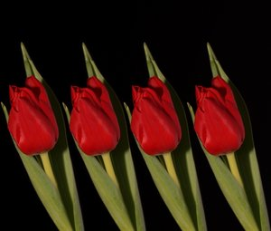 Four red tulips: Four red tulips lined up with black background.