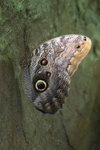 Owl butterfly: An owl butterfly (Caligo) resting on a rock face.