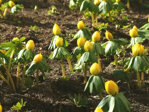 Winter Aconite: Yellow winter aconites waiting for the sun to grow up.