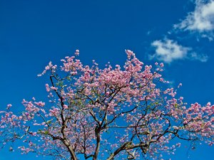 Pink Poi against Blue Sky: Taken at Trinidad, Pointe-a-pierre rd. near San Fernando