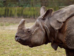 Rhino: Big rhino at Planckendael, Belgium.