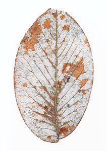 Leaf skeleton: Skeleton of veins of a decomposed leaf.