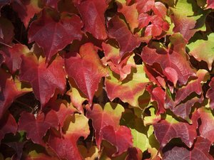 Texture: Autumn leafs: Autumn leafs with burning red and orange colors