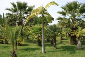 Palm garden: Palms in a garden in Madeira.