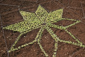 Plant patterns: Star patterns in an herbaceous border in a garden in Madeira.