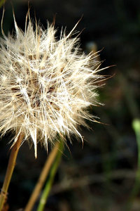 dandelion puff ball: dandelion puff ball