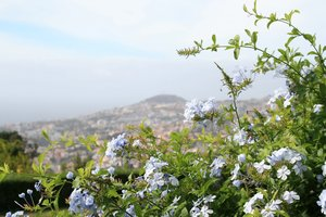 Plumbago flowers: Plumbago flowers growing on a hillside near Funchal, Madeira.