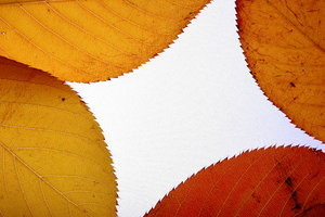 Four Leaf Background: Background made from autumn leaves