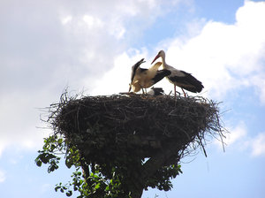 Stork: A stork in the nest.