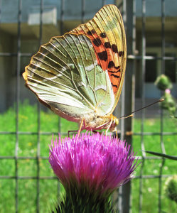 butterfly on flower 1: butterfly on pink thistle