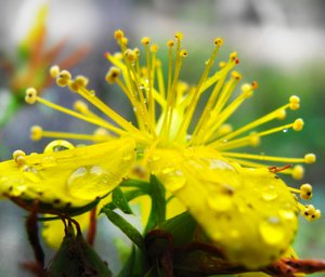 St John's Wort: Close-up of a wet hypericum blossom