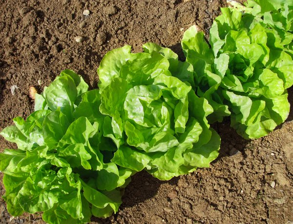 Lettuce: lettuce in my mom's garden