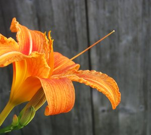 lily: bright orange lily blossom