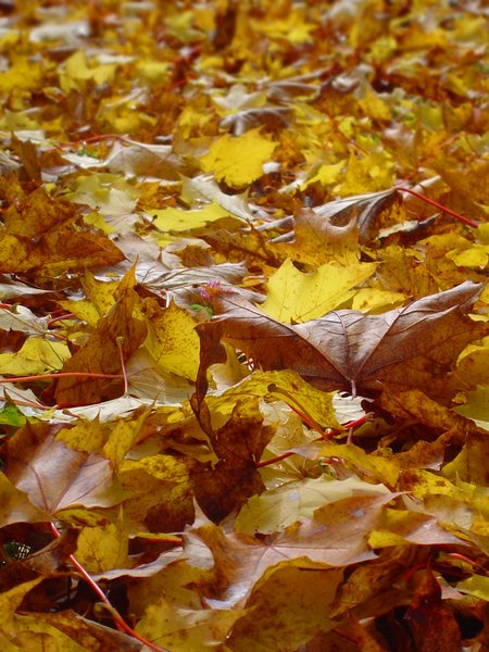Autumn leaves 2: Yellow maple leaves covering the ground