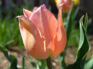 Tulips in Peach: Tulips in the color of peach in our garden, enjoy.