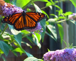 Summer Flutter: Butterfly on butterfly bush fluttering it's wings.
