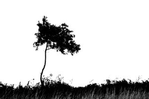 oak: little oak tree growing in a hedgerow. black & white.