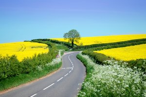 rural road with rape: country lanes curving over hills in the rural midlands of  England