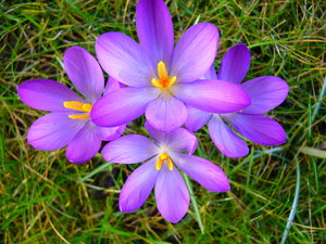 Spring Garden 2: A beautiful sunny day, bringing all the crocuses in my garden to life.