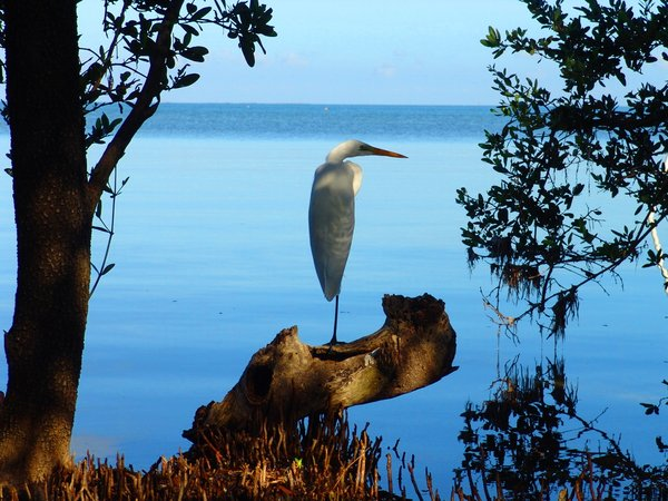 Early Morning Crane: Crane enjoying the early morning in the Mangrove of Key Largo, Florida