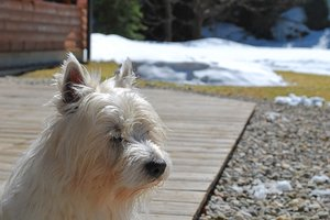 Dog White Terrier: Dog White Terrier