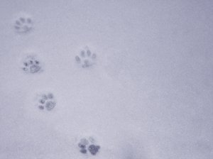 catwalk: catwalk - a cat's footprints on snow