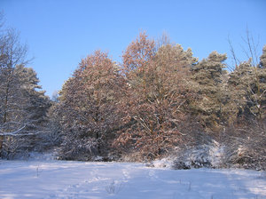 winter trees scenery