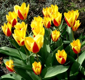 Spring: Tulips as a sign of spring