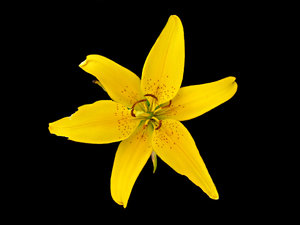 Asiatic lily: bright yellow Asiatic lilly - garden flower