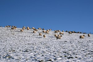 Sheep in winter: Sheep grazing in a snowy field in Devon, England.