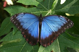 Morpho butterfly: A Morpho butterfly in a greenhouse.