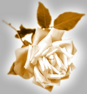 Sepia Rose 2: Rose edited in sepia colours with vignette. An old fashioned, Victorian effect.