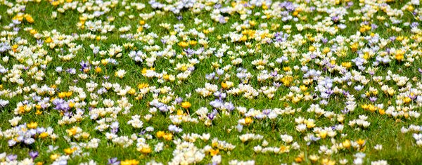 Crocus field banner: crocus flowers in grass