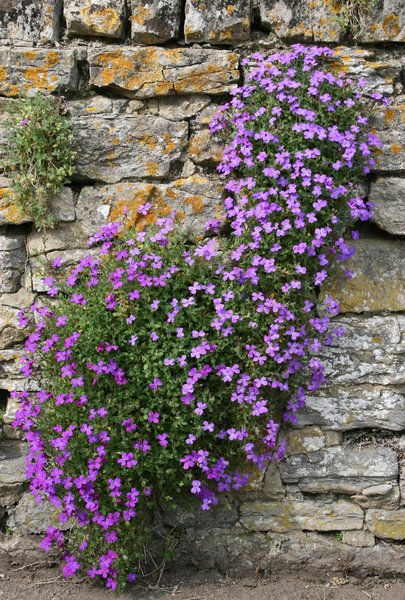 Aubretia flowers: Aubretia growing on an old stone wall in Somerset, England.
