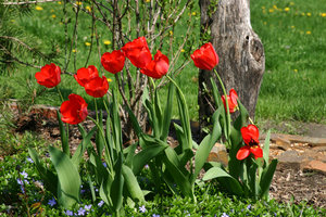 Tulip Red Parade