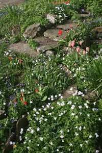 Rockery garden: A rockery garden in England in spring.