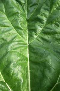 Green leaf texture: Fresh green leaf of rhubarb.