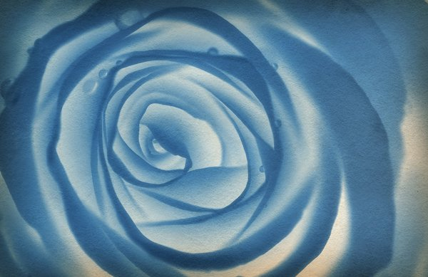 Old blue rose: rose on canvas blue