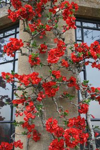Chaenomeles flowers: Chaenomeles flowers growing on the wall of a stately house in England in spring.