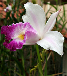 purple & white orchid