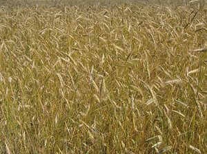 ripe organic wheat